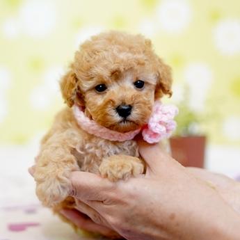 トイプードルの子犬(ID:1269711001)の3枚目の写真/更新日:2019-05-02