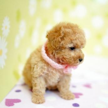 トイプードルの子犬(ID:1269711001)の4枚目の写真/更新日:2019-05-02