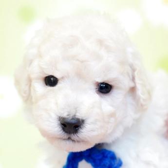 トイプードルの子犬(ID:1269711002)の1枚目の写真/更新日:2019-06-11