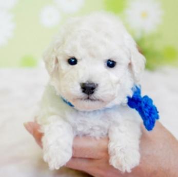 トイプードルの子犬(ID:1269711002)の2枚目の写真/更新日:2019-06-11