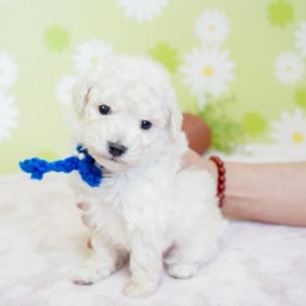 トイプードルの子犬(ID:1269711002)の3枚目の写真/更新日:2019-06-11