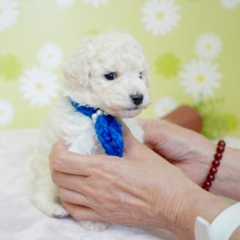 トイプードルの子犬(ID:1269711002)の4枚目の写真/更新日:2019-06-11