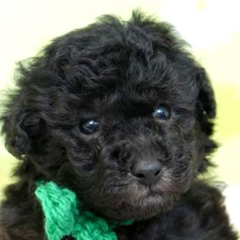 トイプードルの子犬(ID:1269711003)の1枚目の写真/更新日:2019-06-11