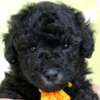 トイプードルの子犬(ID:1269711004)の1枚目の写真/更新日:2019-06-11