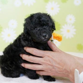 トイプードルの子犬(ID:1269711004)の2枚目の写真/更新日:2017-09-19