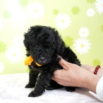 トイプードルの子犬(ID:1269711004)の3枚目の写真/更新日:2017-09-19
