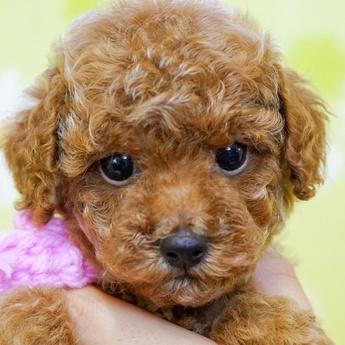 トイプードルの子犬(ID:1269711005)の1枚目の写真/更新日:2017-09-19