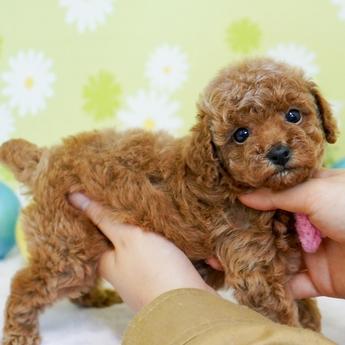 トイプードルの子犬(ID:1269711005)の2枚目の写真/更新日:2017-09-19