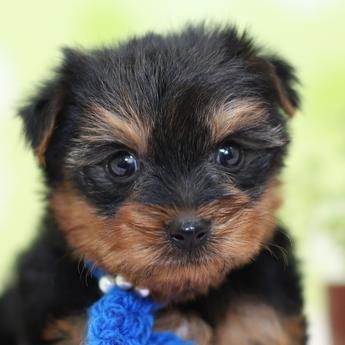 ヨークシャーテリアの子犬(ID:1269711006)の1枚目の写真/更新日:2017-09-19