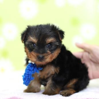 ヨークシャーテリアの子犬(ID:1269711006)の2枚目の写真/更新日:2017-09-19