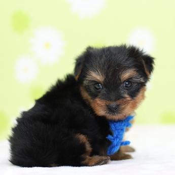 ヨークシャーテリアの子犬(ID:1269711006)の3枚目の写真/更新日:2019-03-08