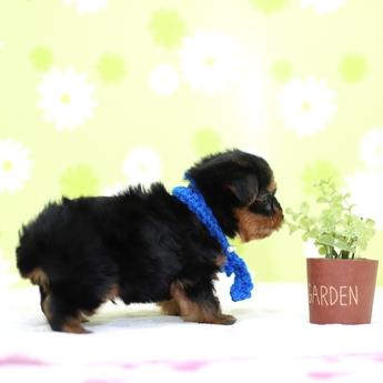 ヨークシャーテリアの子犬(ID:1269711006)の4枚目の写真/更新日:2018-05-21