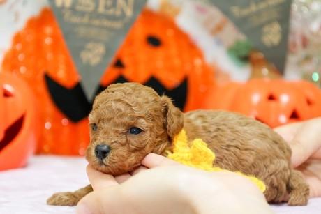 トイプードルの子犬(ID:1269711007)の2枚目の写真/更新日:2017-10-30