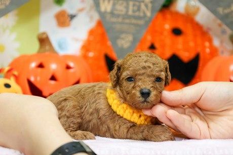 トイプードルの子犬(ID:1269711007)の3枚目の写真/更新日:2017-10-30