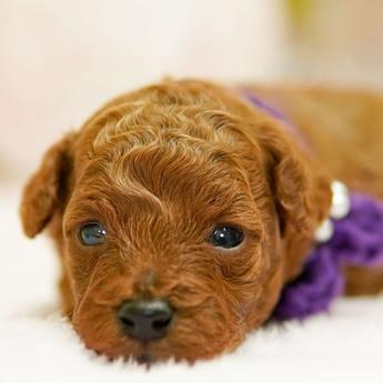 トイプードルの子犬(ID:1269711008)の1枚目の写真/更新日:2017-10-30