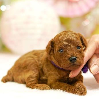 トイプードルの子犬(ID:1269711008)の2枚目の写真/更新日:2017-10-30