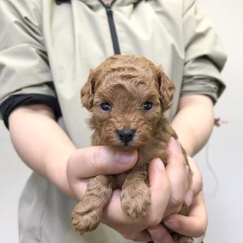 トイプードルの子犬(ID:1269711009)の1枚目の写真/更新日:2019-02-18