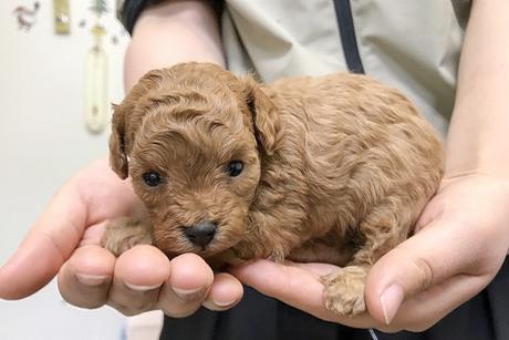 トイプードルの子犬(ID:1269711009)の2枚目の写真/更新日:2017-10-30