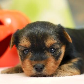 ヨークシャーテリアの子犬(ID:1269711010)の1枚目の写真/更新日:2017-11-02