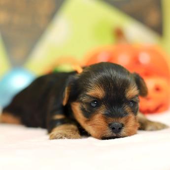 ヨークシャーテリアの子犬(ID:1269711010)の2枚目の写真/更新日:2017-11-02