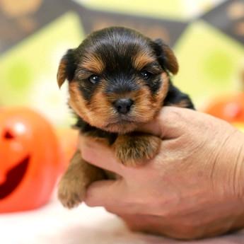 ヨークシャーテリアの子犬(ID:1269711010)の3枚目の写真/更新日:2017-11-02