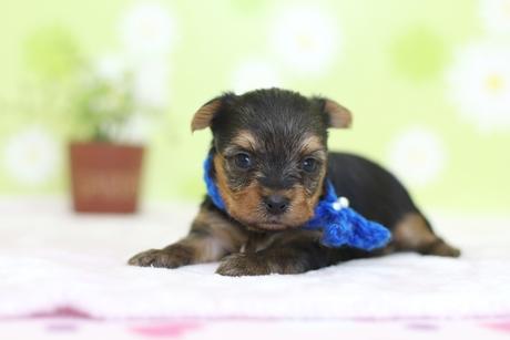 ヨークシャーテリアの子犬(ID:1269711011)の1枚目の写真/更新日:2017-11-02