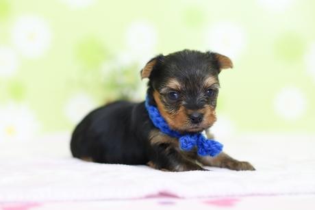 ヨークシャーテリアの子犬(ID:1269711011)の2枚目の写真/更新日:2017-11-02