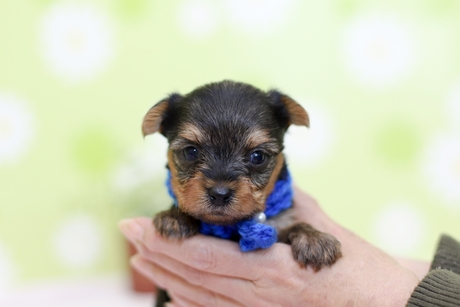ヨークシャーテリアの子犬(ID:1269711011)の4枚目の写真/更新日:2019-04-06