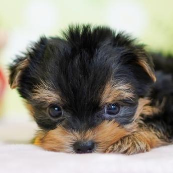 ヨークシャーテリアの子犬(ID:1269711012)の1枚目の写真/更新日:2017-11-02