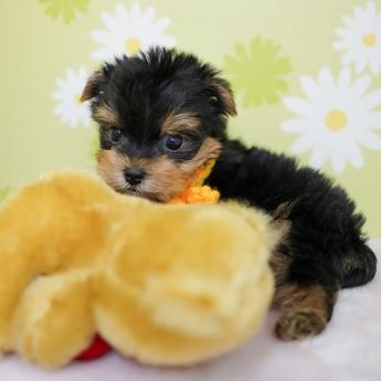 ヨークシャーテリアの子犬(ID:1269711012)の2枚目の写真/更新日:2018-07-30