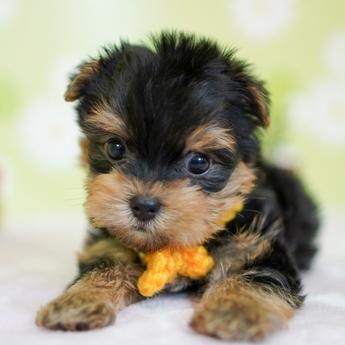 ヨークシャーテリアの子犬(ID:1269711012)の3枚目の写真/更新日:2017-11-02