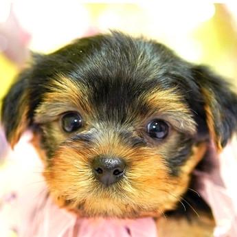 ヨークシャーテリアの子犬(ID:1269711013)の1枚目の写真/更新日:2017-11-02
