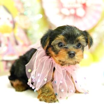 ヨークシャーテリアの子犬(ID:1269711013)の2枚目の写真/更新日:2017-11-02