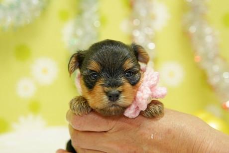 ヨークシャーテリアの子犬(ID:1269711014)の2枚目の写真/更新日:2017-11-02