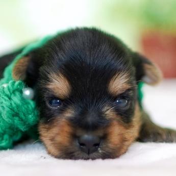 ヨークシャーテリアの子犬(ID:1269711015)の1枚目の写真/更新日:2018-07-30