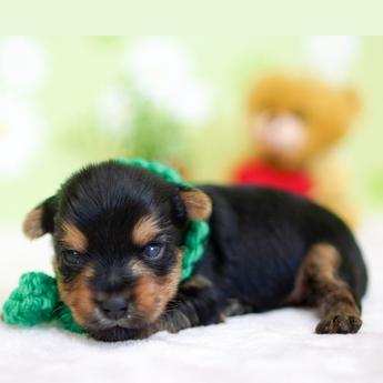 ヨークシャーテリアの子犬(ID:1269711015)の3枚目の写真/更新日:2019-05-17