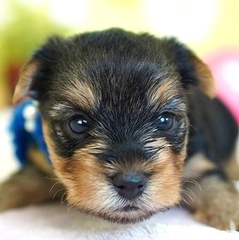 ヨークシャーテリアの子犬(ID:1269711016)の1枚目の写真/更新日:2017-12-11