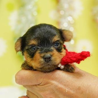 ヨークシャーテリアの子犬(ID:1269711017)の1枚目の写真/更新日:2019-03-14