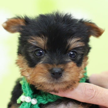 ヨークシャーテリアの子犬(ID:1269711018)の1枚目の写真/更新日:2017-12-11