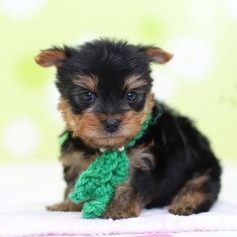ヨークシャーテリアの子犬(ID:1269711018)の2枚目の写真/更新日:2019-03-08