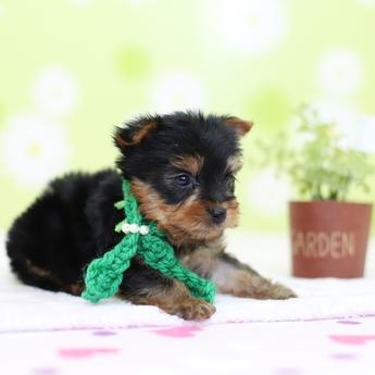 ヨークシャーテリアの子犬(ID:1269711018)の3枚目の写真/更新日:2019-03-08