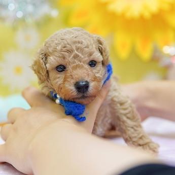 トイプードルの子犬(ID:1269711019)の1枚目の写真/更新日:2018-02-19