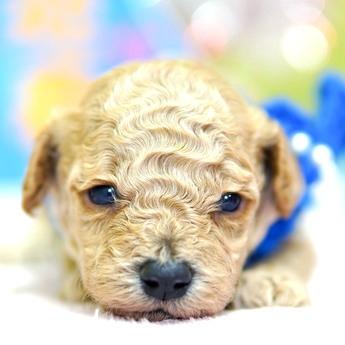 トイプードルの子犬(ID:1269711020)の1枚目の写真/更新日:2018-02-19
