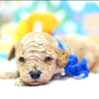 トイプードルの子犬(ID:1269711020)の2枚目の写真/更新日:2018-02-19
