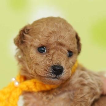 トイプードルの子犬(ID:1269711021)の1枚目の写真/更新日:2019-02-18