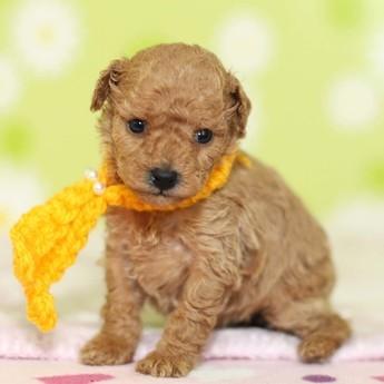 トイプードルの子犬(ID:1269711021)の2枚目の写真/更新日:2018-02-19