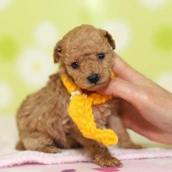 トイプードルの子犬(ID:1269711021)の3枚目の写真/更新日:2019-02-18