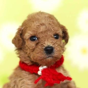 トイプードルの子犬(ID:1269711022)の1枚目の写真/更新日:2018-02-19