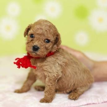 トイプードルの子犬(ID:1269711022)の2枚目の写真/更新日:2018-02-19