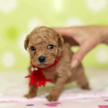 トイプードルの子犬(ID:1269711022)の3枚目の写真/更新日:2018-02-19